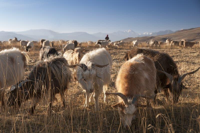 在Tso Moriri高原,拉达克,印度的山羊 图库摄影