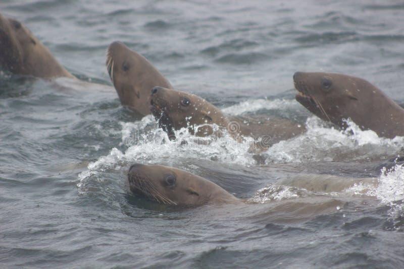 在Tuleniy海岛ne的狂放的斯特勒海狮海狮jubatus 图库摄影