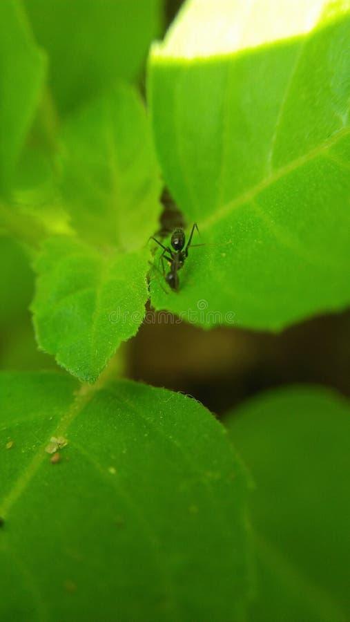 在tulsi植物叶子点击的蚂蚁 免版税库存照片