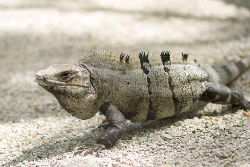 在Tulum废墟的墨西哥鬣鳞蜥 库存照片