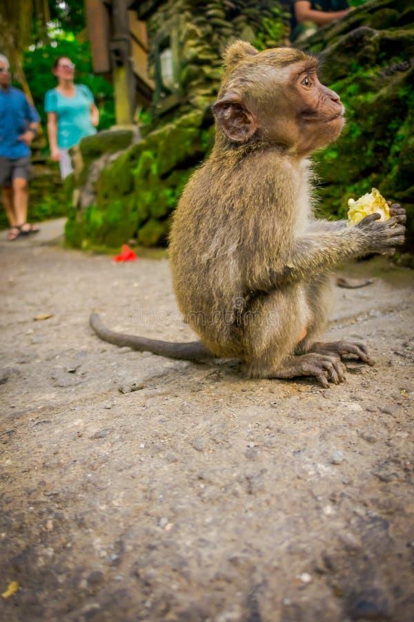 在Ubud的长尾的小短尾猿猕猴属fascicularis胡闹吃玉米棒玉米的森林寺庙使用他的手,在巴厘岛 免版税库存图片