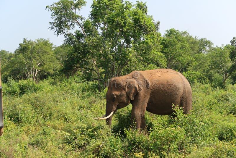 在udawalawe国立公园里面的男性亚洲大象,斯里兰卡 免版税库存照片