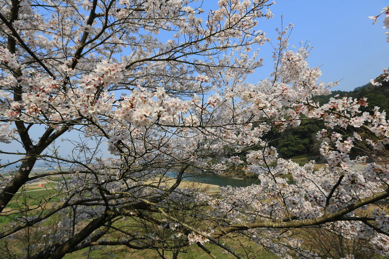 Download 在Umahori,京都的樱花 库存例证. 插画 包括有 装饰, 从事园艺, 季节, 生活, 公园, 例证 - 96445504