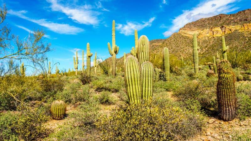 在Usery山地方公园半沙漠风景的桶和柱仙人掌仙人掌在菲尼斯亚利桑那附近的 免版税库存照片
