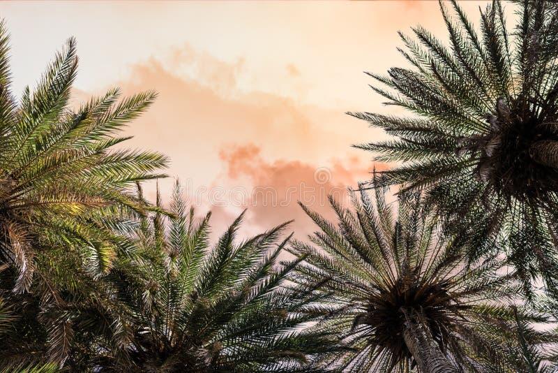 在Vai海滩的棕榈树在克利特海岛上 ?? E 图库摄影