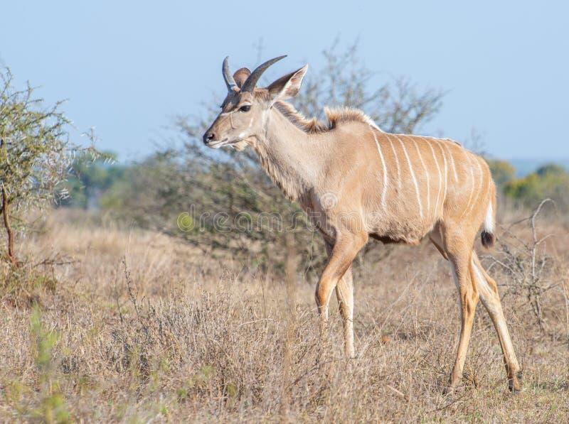 在veldt的幼小Kudu公牛 库存照片
