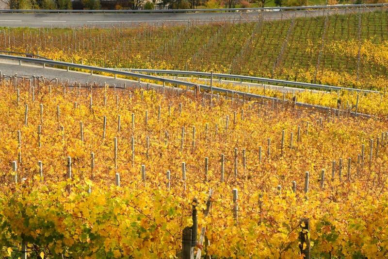 在Villandro附近的黄色葡萄园 特伦托自治省女低音阿迪杰,意大利 库存图片