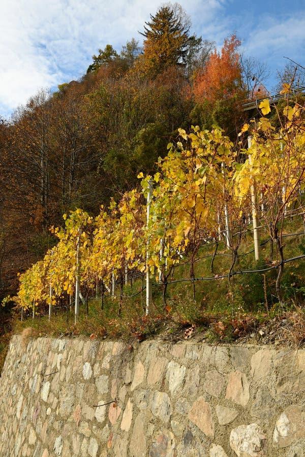 在Villandro附近的黄色葡萄园 特伦托自治省女低音阿迪杰,意大利 免版税库存照片