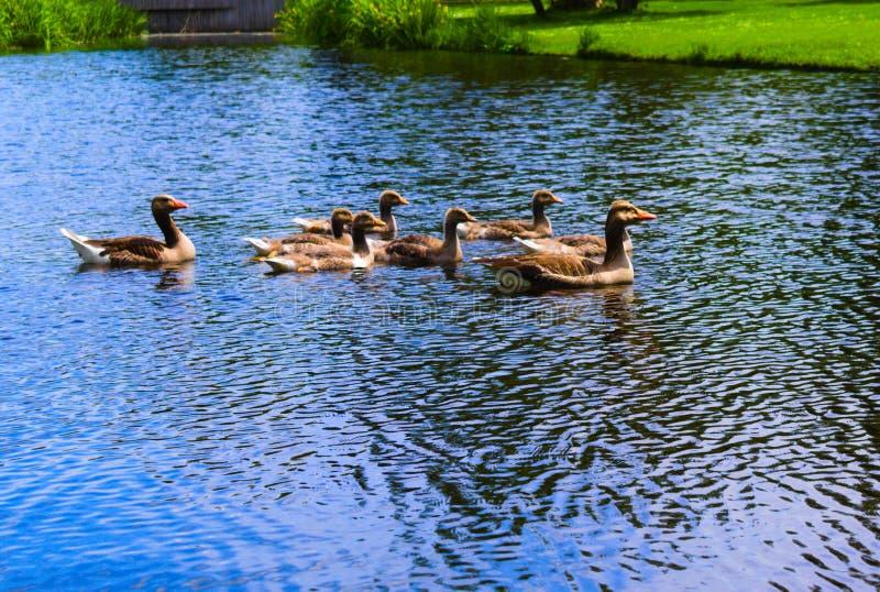 在vondelpark的鸭子游泳在运河的 库存图片