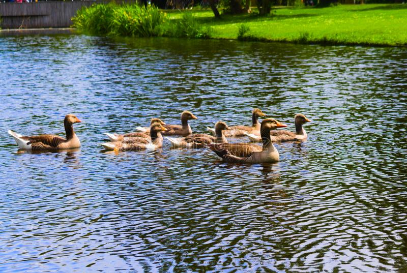 在vondelpark的鸭子游泳在运河的 免版税库存图片