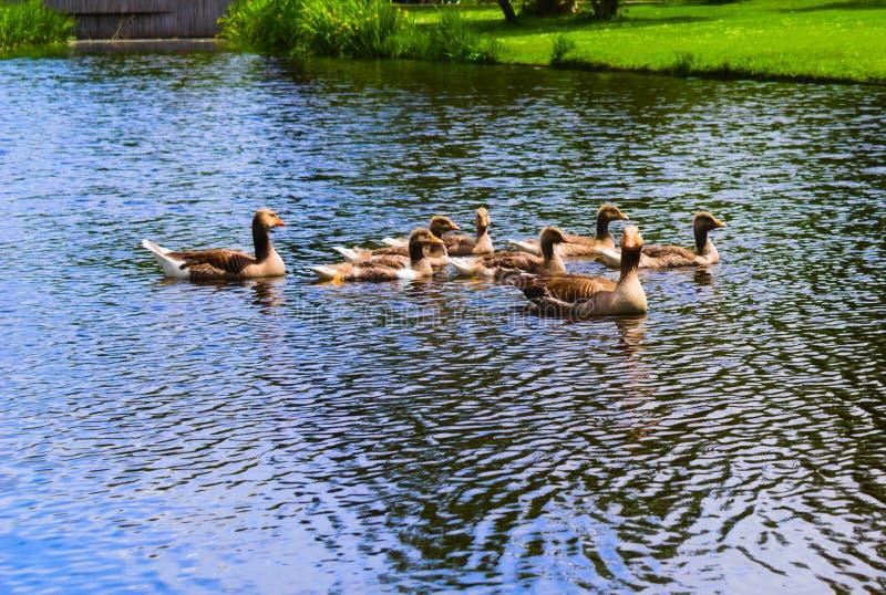 在vondelpark的鸭子游泳在运河的 免版税图库摄影