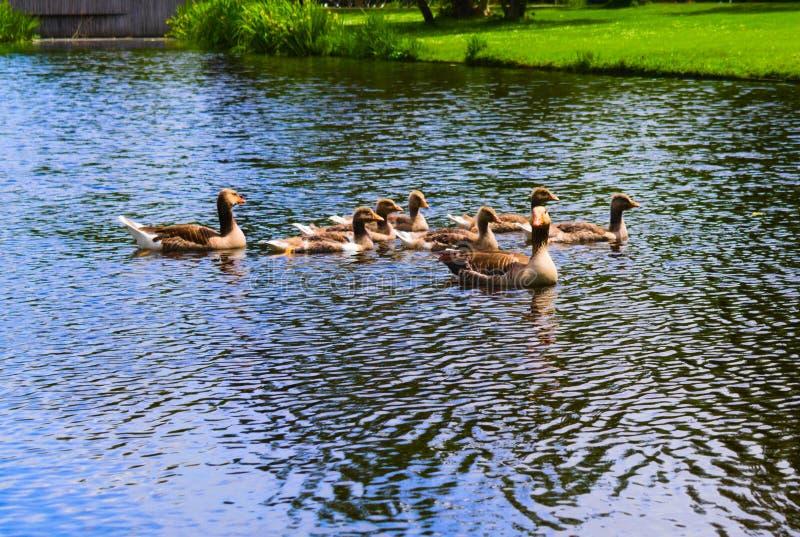 在vondelpark的鸭子游泳在运河的 图库摄影