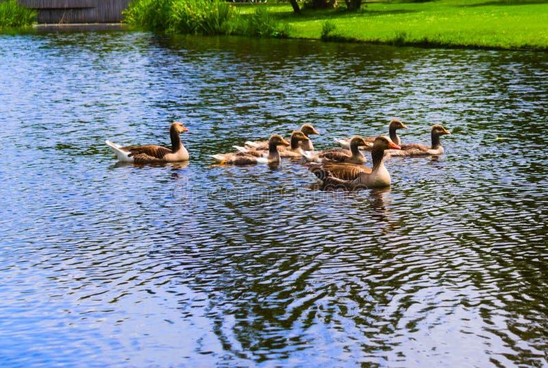 在vondelpark的鸭子游泳在运河的 库存照片