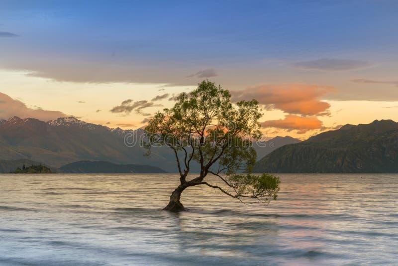 在Wanaka湖的单独树有山背景日出口气的 库存照片