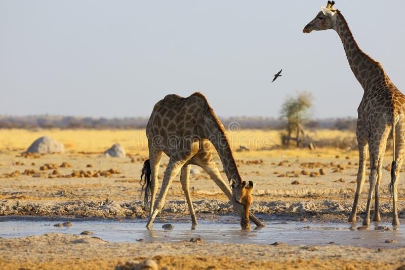 在waterhole的长颈鹿饮用水 免版税库存照片