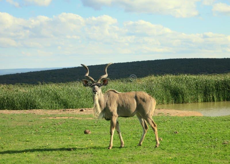 在waterhole的Kudu羚羊 免版税库存照片