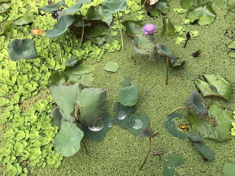 在waterlily领域的紫色花 免版税库存图片
