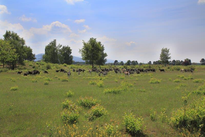 在Weige, Sandweier - Baden-Baden沙丘的草甸的山羊  库存图片