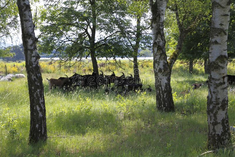 在Weige, Sandweier - Baden-Baden沙丘的草甸的山羊  库存照片