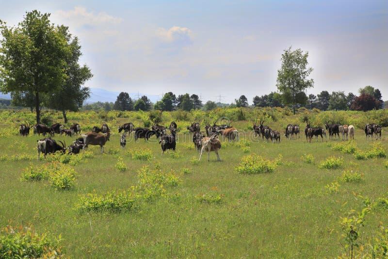在Weige, Sandweier - Baden-Baden沙丘的草甸的山羊  免版税库存照片