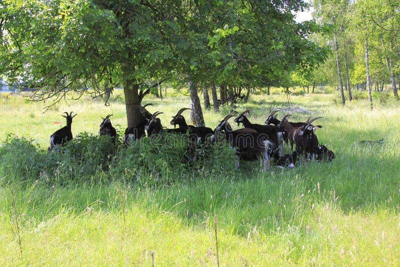在Weige, Sandweier - Baden-Baden沙丘的草甸的山羊  免版税库存图片