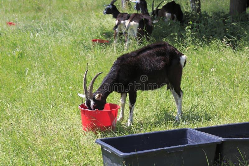 在Weige, Sandweier - Baden-Baden沙丘的草甸的山羊  免版税图库摄影