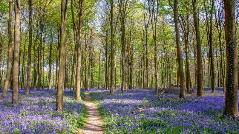 在Wepham木头的会开蓝色钟形花的草 图库摄影