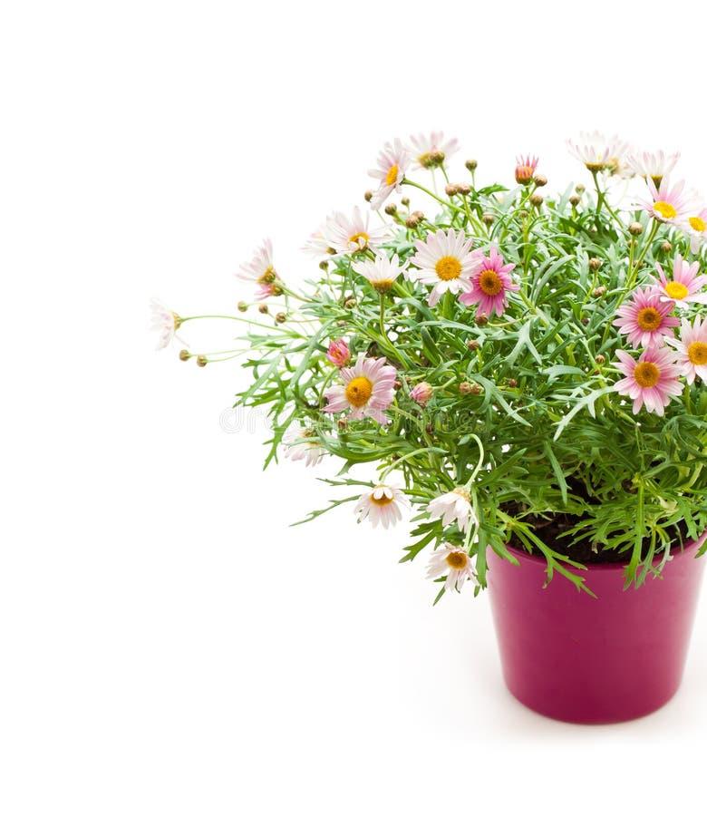在wh隔绝的花盆的桃红色雏菊延命菊多年生植物 免版税库存照片