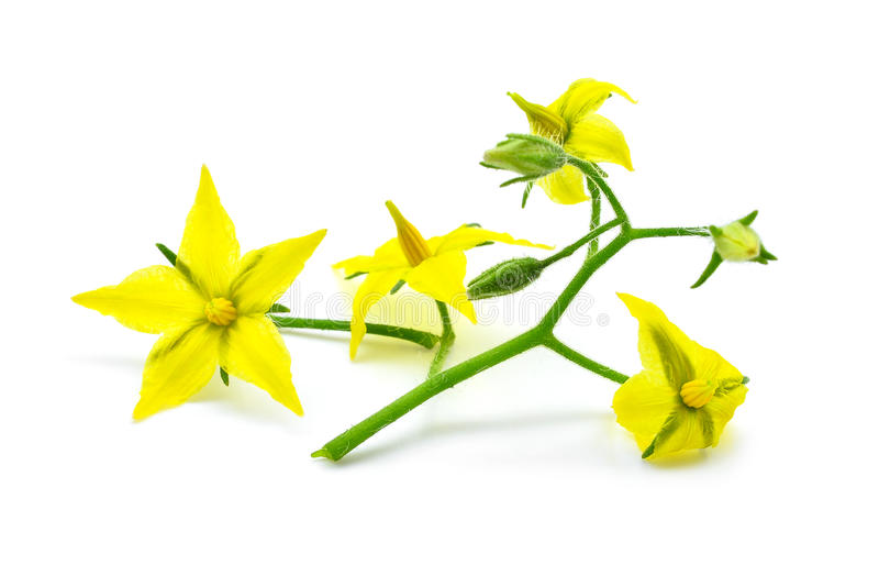 在whtie隔绝的黄色花蕃茄 库存图片