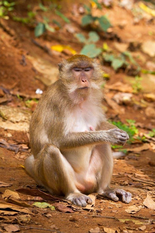 在widelife的短尾猿猴子 库存图片