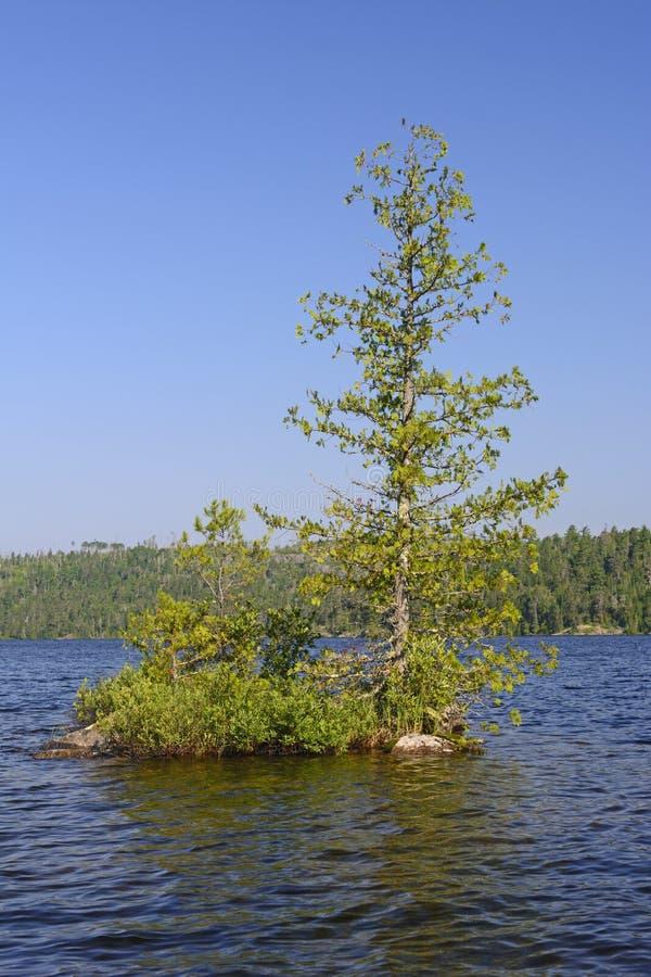 在Wilderness湖的孤立杉木 库存照片