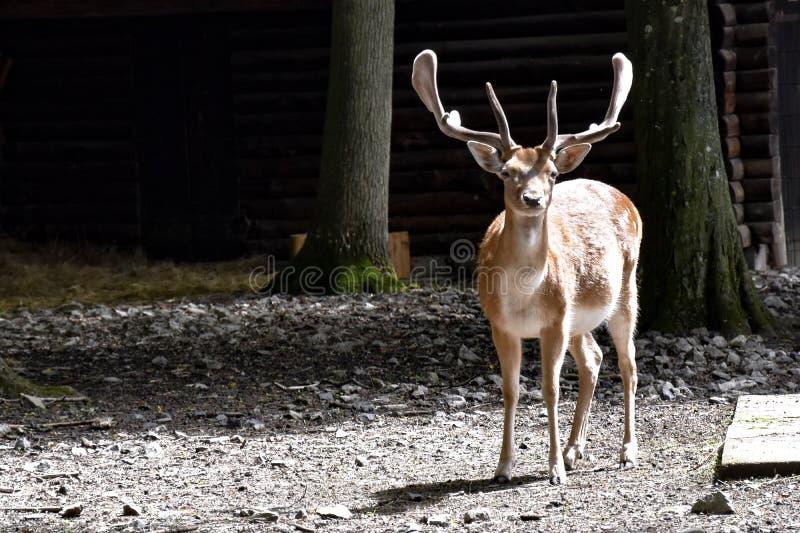 在wildpark施韦因富特,德国的一头鹿 库存图片