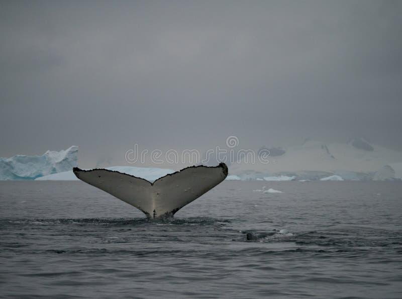 在Wilhelmina海湾的尾巴比目鱼 免版税库存图片