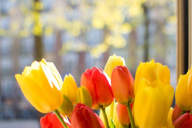 在windon的红色和黄色郁金香 库存照片