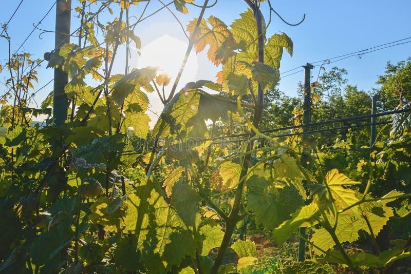 在wineyard的年轻葡萄树 葡萄树特写镜头  在春天的Wineyard 太阳火光 葡萄园横向 葡萄园荡桨a 免版税库存图片