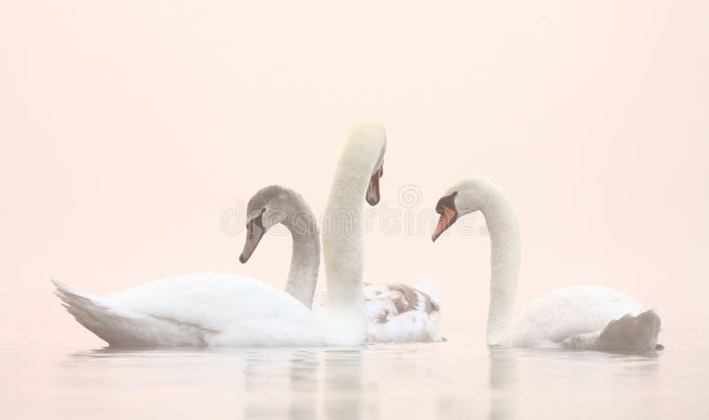 在Winter有薄雾的湖的天鹅 免版税库存图片