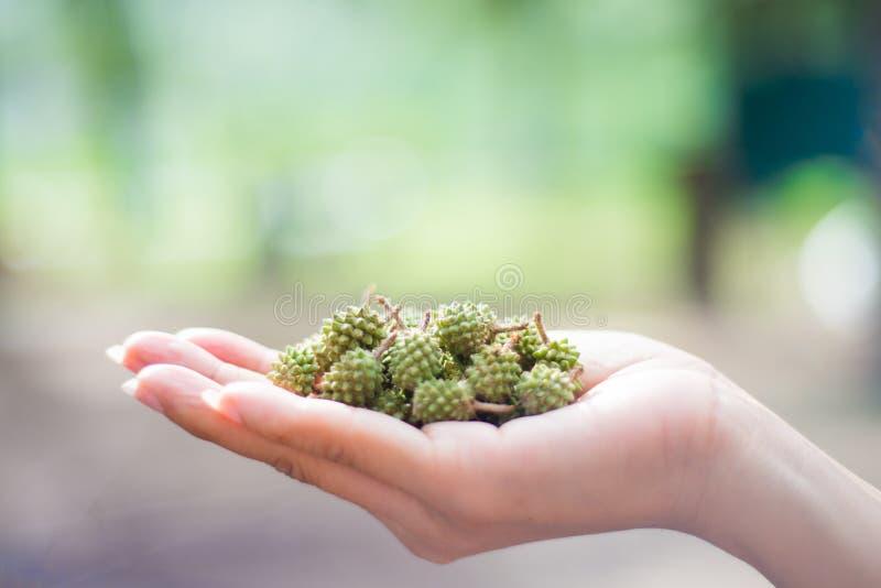 在woman's手上的绿色pinecone 免版税图库摄影