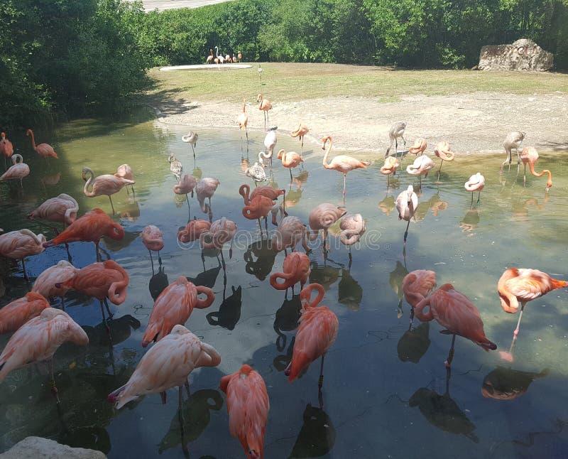 在xcaret的桃红色火鸟 图库摄影
