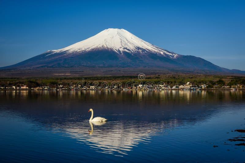 在Yamanaka湖的怀特斯旺游泳有富士山或藤实的在早晨,山梨 免版税库存照片