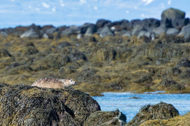 在Ytri蚤目类海滩, Snaefellsnes半岛冰岛的灰色封印 免版税库存照片