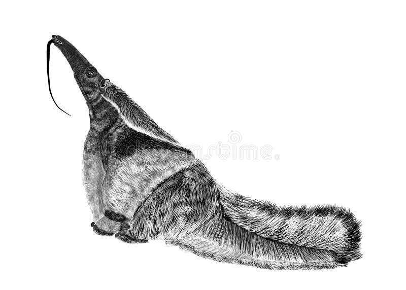 黑织地不很细在白色背景隔绝的剪影大食蚁兽的例证 库存例证