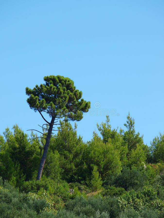 地中海杉木垂直 库存照片