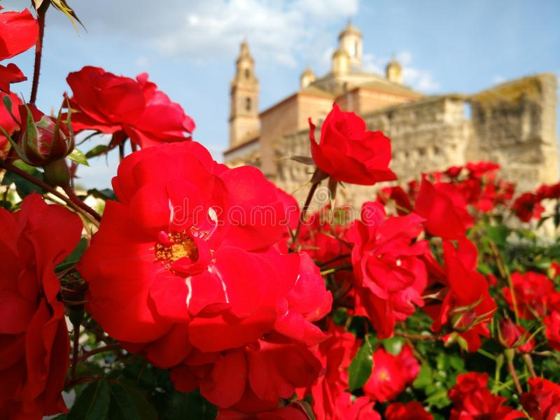 地中海玫瑰 库存照片