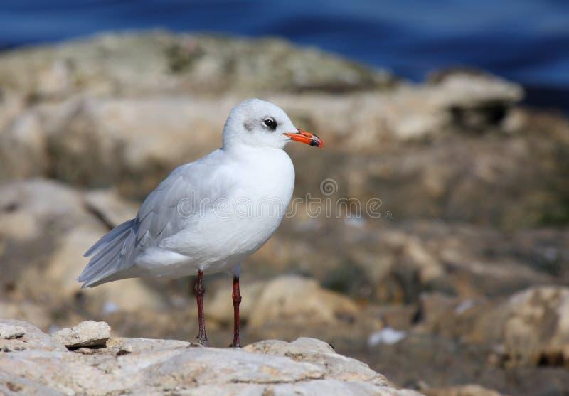 地中海的鸥 库存照片