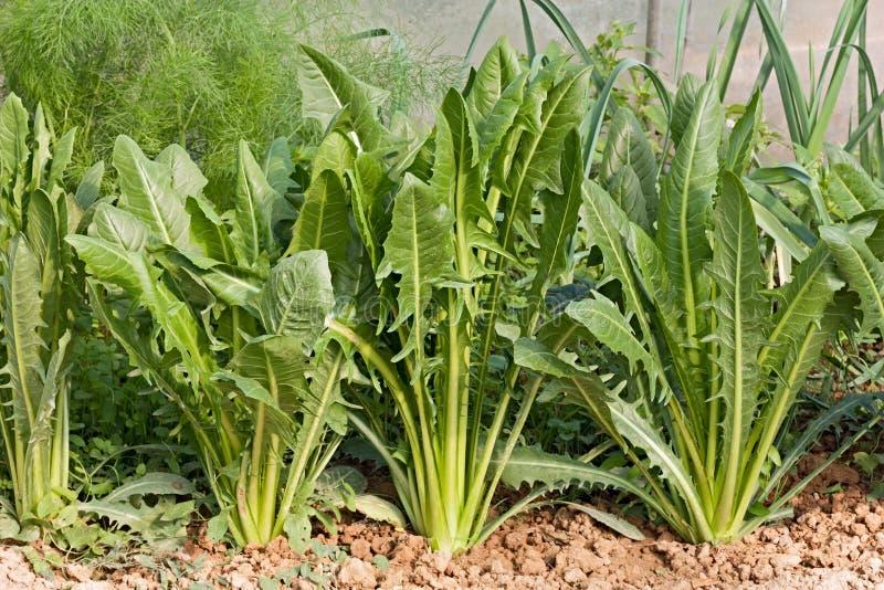 Download 地中海苦苣生茯 库存图片. 图片 包括有 苦汁, 庭院, 节食, 有机, 植物群, 沙拉, 饮食, 叶子 - 27503545