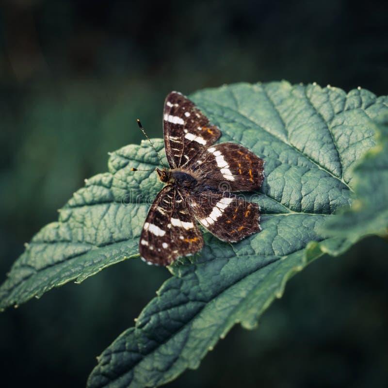 地图蝴蝶或Araschnia levana坐在被弄脏的背景的一片绿色叶子 与呈杂色的褐色的一只美丽的蝴蝶 库存图片
