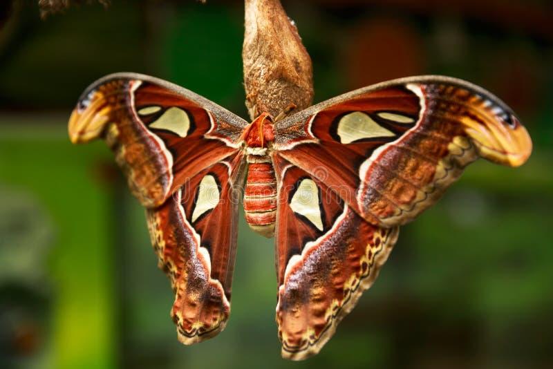 地图集飞蛾Attacus地图集,美丽的大蝴蝶 免版税图库摄影