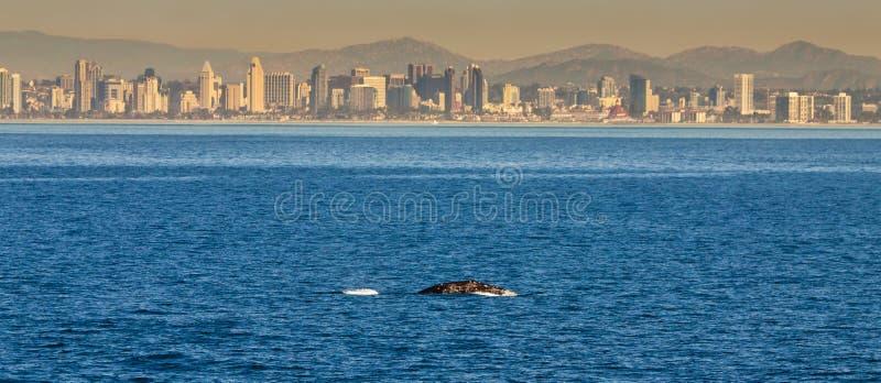 地平线鲸鱼 免版税库存照片