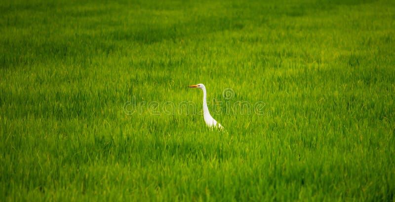 地方白色鸟、伟大的白鹭走动在有机米领域和注意食物的,小的昆虫和壳 免版税库存照片