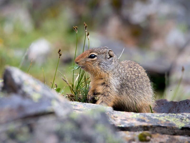 地松鼠是最好 图库摄影